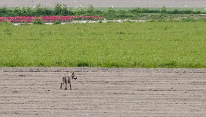 De eerste wolf die in West-Brabant is vastgelegd, in de polders van Dinteloord.