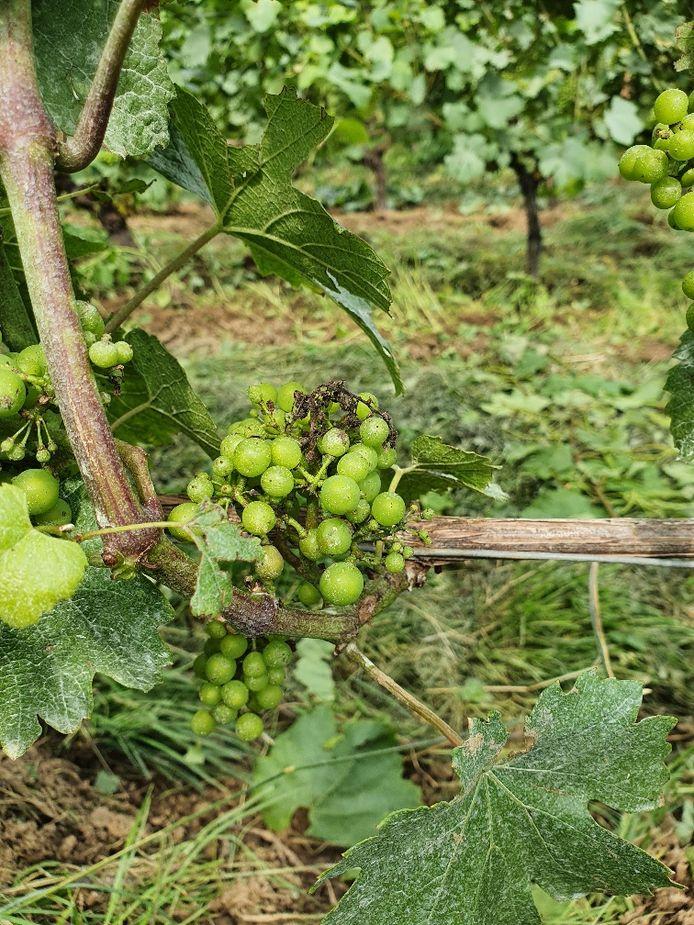 Bij het gekende wijndomein Entre-deux-Monts in Heuvelland is de schimmelinfectie momenteel onder controle en wordt geprobeerd om erger te voorkomen.