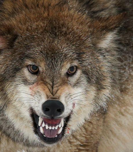 Is de wolf na 120 jaar écht terug in Brabant? 'Sinds dode schapen geen signalen meer'