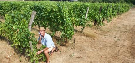 Veel zon: fijn voor druiven, pittig voor werkers van wijngaard in Dieren