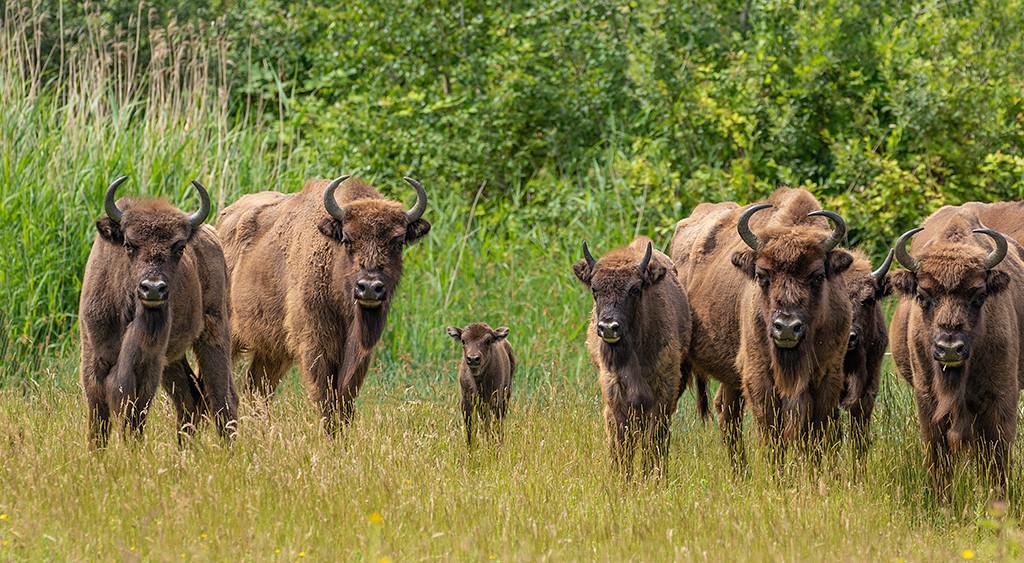 De kudde wisenten op de Slikken van de Heen heeft de afgelopen maanden uitbreiding gehad met drie kalveren en bestaat nu uit 14 dieren.