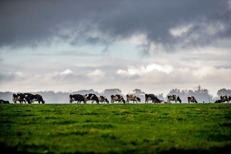 Koeien van ruim 17.000 Nederlandse melkveehouders leveren melk aan FrieslandCampina.  Beeld Hollandse Hoogte / Rob Voss