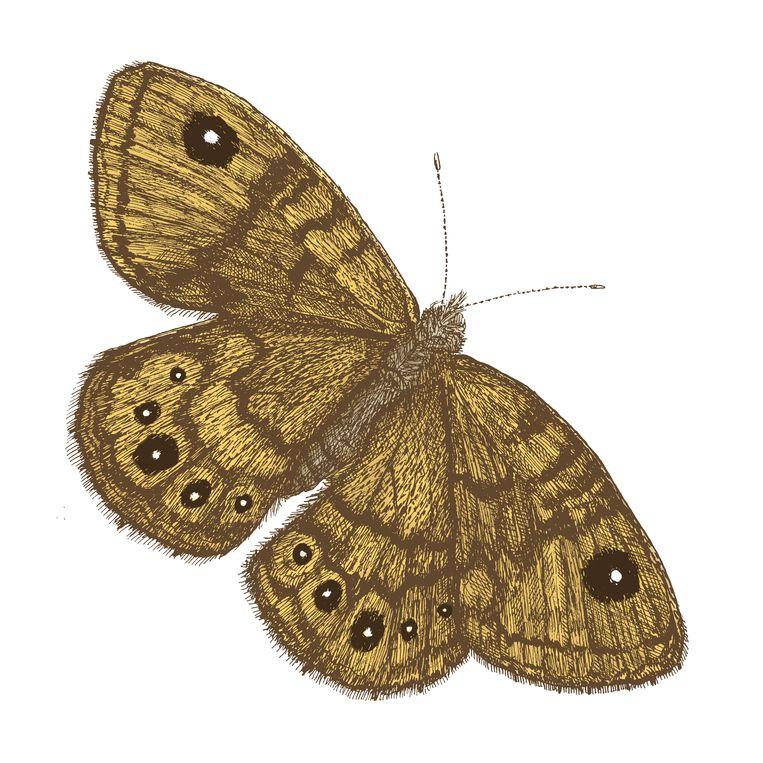De argusvlinder, met de oogvlekken in de vleugels die het dier de naam bezorgden.  Beeld Margot Holtman