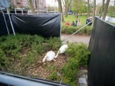 Even omlopen om de broedende zwanen bij de parkeerautomaat niet te storen