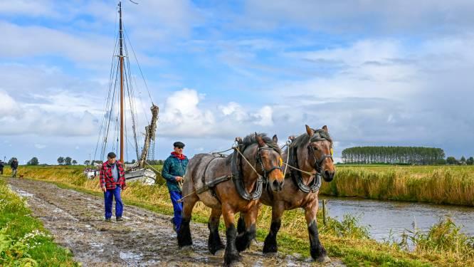 Trekpaarden jagen schepen door de Steenbergse Vliet: 'Ik heb zoiets nog nooit gezien'