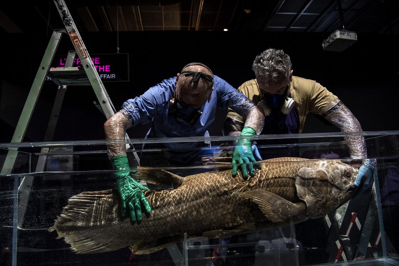 Een coelacant wordt in een geprepareerd bad geplaatst voor een expositie in Parijs (2019) Beeld Hollandse Hoogte / AFP