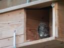 Steenuil in nestkastje.