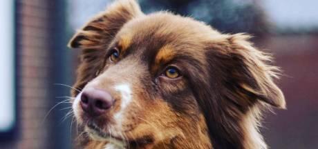 Vermiste hond Gohya na vier weken dood teruggevonden in Lunteren
