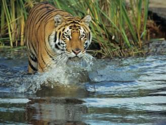 Tijgerpopulatie bijna verdubbeld in Nepal: eindelijk terug hoop voor wereldwijd herstel van bedreigde soort