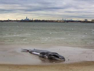 Walvis New York wordt in zandduinen begraven