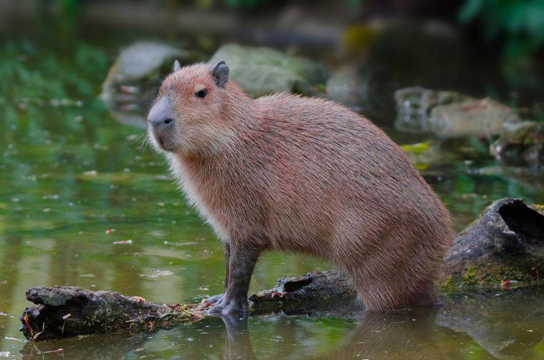 een capybara Beeld thinkstock