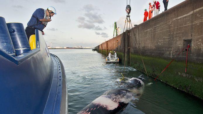 Archiefbeeld van de dode walvis die in 2011 in de haven van Rotterdam werd geborgen. Het dier zat op de voorsteven van een containerschip en is vermoedelijk onderweg geschept.