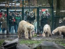 Aswoensdag in de dierentuin: ijsberen happen haring en spelen in de sneeuw