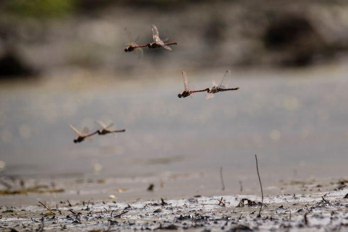 Parende libellen in het drooggevallen veen. Haaksbergerveen is in top drie geëindigd van meest stille plekken in Nederland.