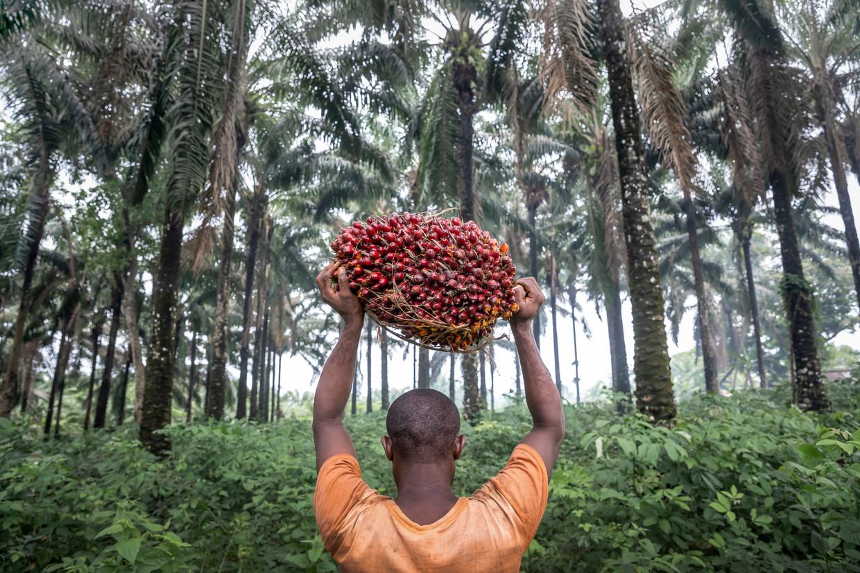 Een dorpeling draagt een loodzware lading vruchten van de oliepalm. Beeld Sven Torfinn
