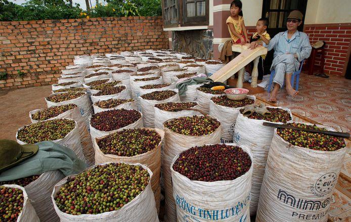 Koffiekersen van Vietnamese plantages.