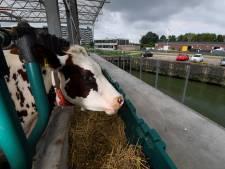 À Rotterdam, des vaches flottent sur l'eau
