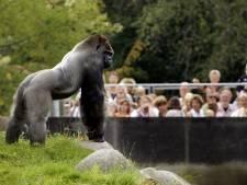 Het ging eerder mis in dierentuinen: aanval Bokito en andere angstige momenten