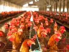 Corona-angst geen reden om uitbreiding kippenboer Nistelrode te blokkeren