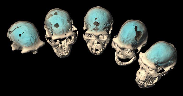 Vijf schedels van vroege mensen, gevonden in Dmanisi, Georgië. Beeld Universiteit van Zürich