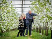 Drielse kweker Stef Vos deelt ook op z'n 84ste nog graag zijn liefde voor kersenbloesem en -oogst