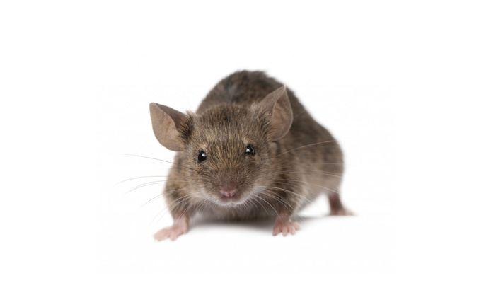 De muizenplaag is volgens betrokkenen erger dan andere jaren.