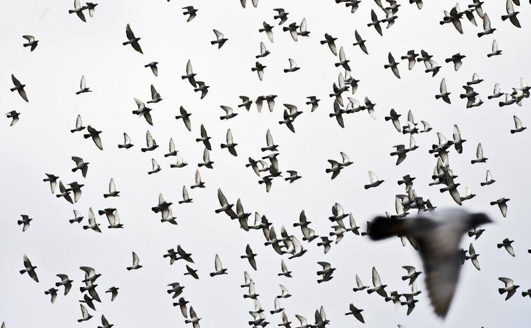 Makke postduiven zijn een makkelijker prooi voor slechtvalken dan wilde duiven, zeggen duivenhouders. Beeld anp