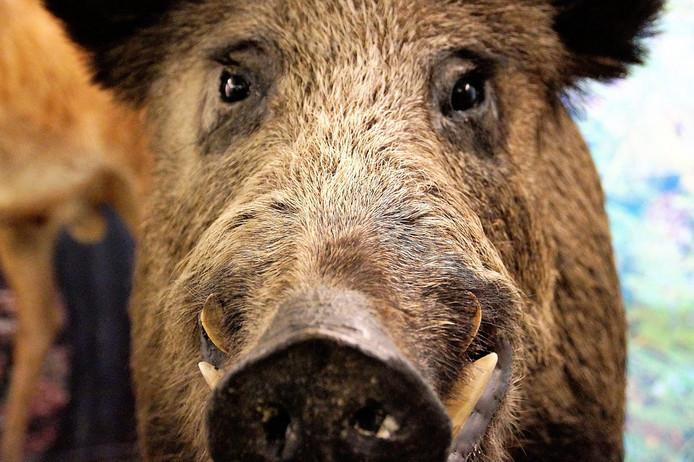 Het wilde zwijn laat niet met zich spotten. Twee honden zijn afgevoerd naar de dierenarts.