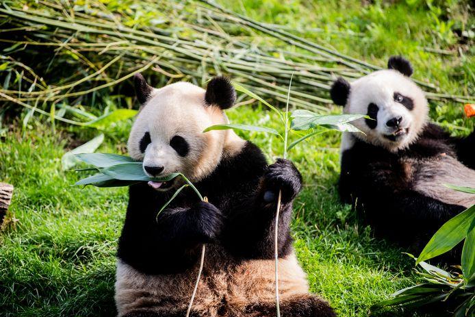 De jarige panda's genoten met volle teugen van hun ontbijt.