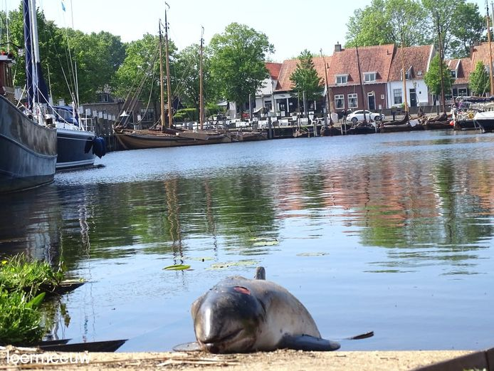 Gisteren werd een dode bruinvis op de Botterwerf in Elburg aangetroffen. Het dier werd vandaag onderzocht door de Faculteit Diergeneeskunde van de Universiteit Utrecht.