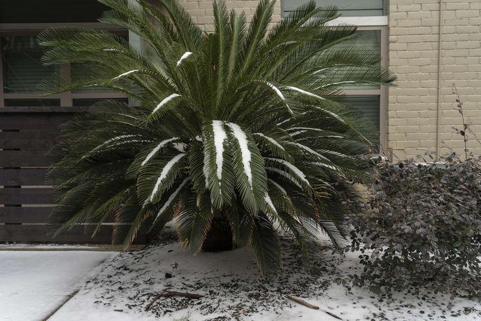 Sneeuw op een tropische boom in Texas.