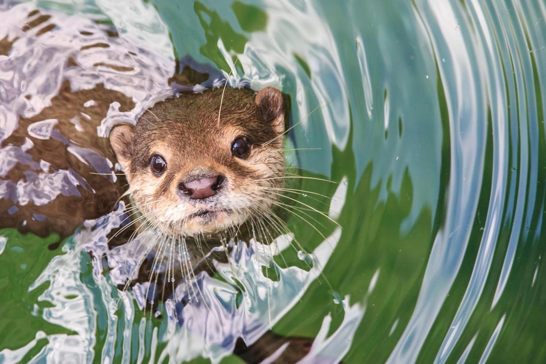 De otter nestelt zich weer in Vlaanderen.