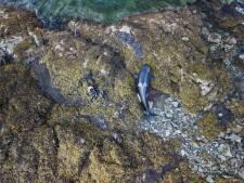Une orque échouée sauvée après être restée coincée pendant des heures sur des rochers