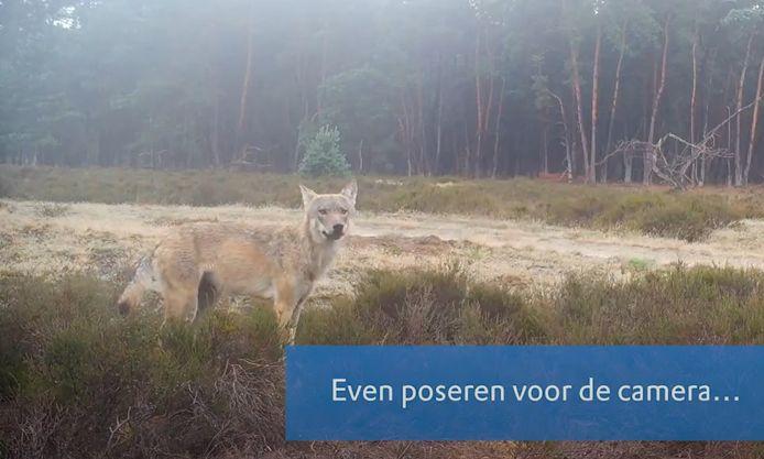 Nadat in het voorjaar de wolvensporen waren gevonden, hingen boswachters van Natuurmonumenten op verschillende plekken wildcamera's op.
