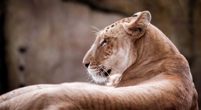 Een tigon.
