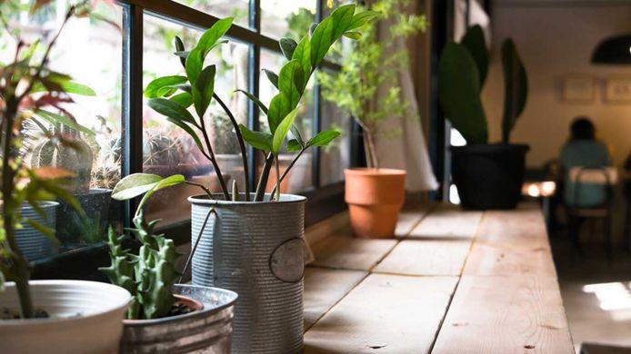 Kamerplanten hebben nu te lijden onder het koude weer en de verwarming in huis.
