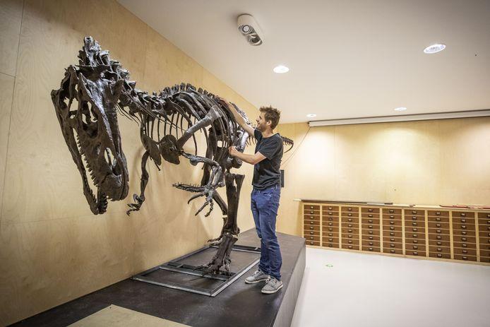 Tristan Fleerkate is bezig met het opzetten van een allosaurus in museum Natura Docet.