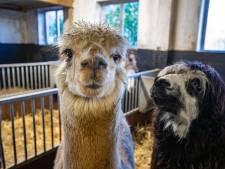Spaarvarken ontvreemd bij kinderboerderij Cantecleer: 'We legen 'm altijd aan het einde van de week'