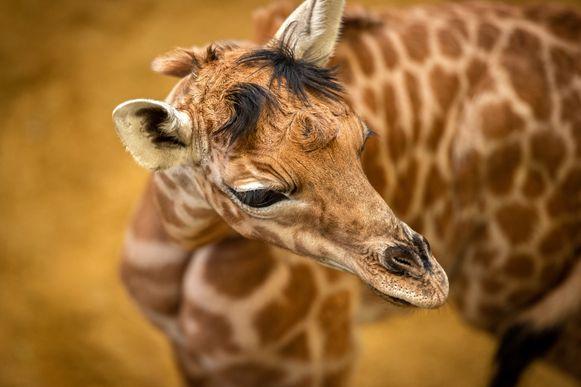 Giraf Valeye werd zondag geboren in ZOO Planckendael.