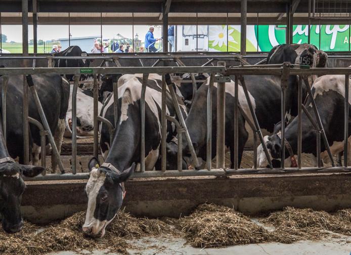 Volgens de Algemene Rekenkamer heeft het kabinet de gevolgen van de afschaffing van het melkquotum in 2015 onderschat. De afschaffing leidde tot een forse groei van het aantal melkkoeien.