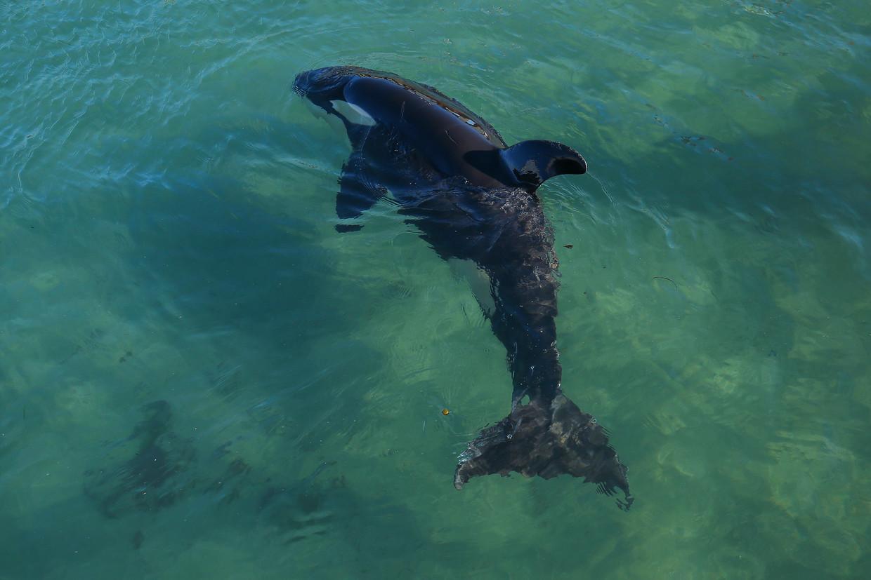 Baby-orka Toa op 14 juli in een bad met zeewater in Wellington. Beeld Getty Images