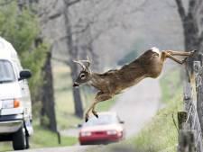 Hert of zwijn aangereden? Dit moet je wel en niet doen
