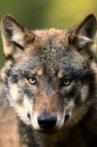 """De meest gestelde vragen over de wolf: """"Natuurlijk kunnen ze hier leven. Ze doen dat al"""""""