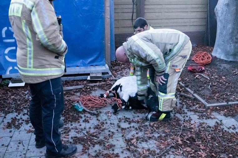 De brandweer kon de bok vangen in de achtertuin van een woning
