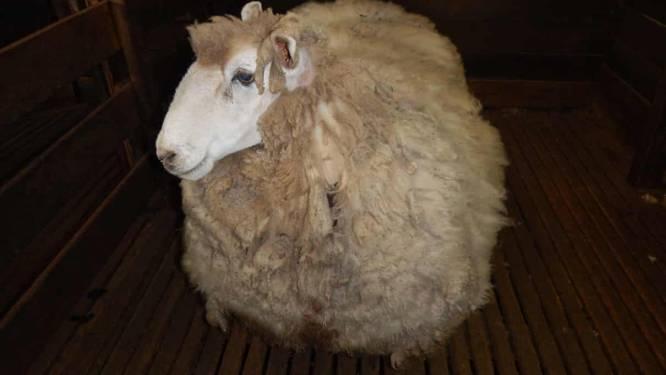 Australisch schaap ontsnapt minstens vier jaar aan scheerbeurt, maar is nu toch verlost van 20 kg wol