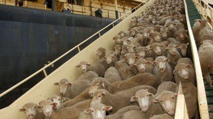 """Australië onderzoekt de dood van 3.000 schapen: """"Waas van onduidelijkheid"""""""