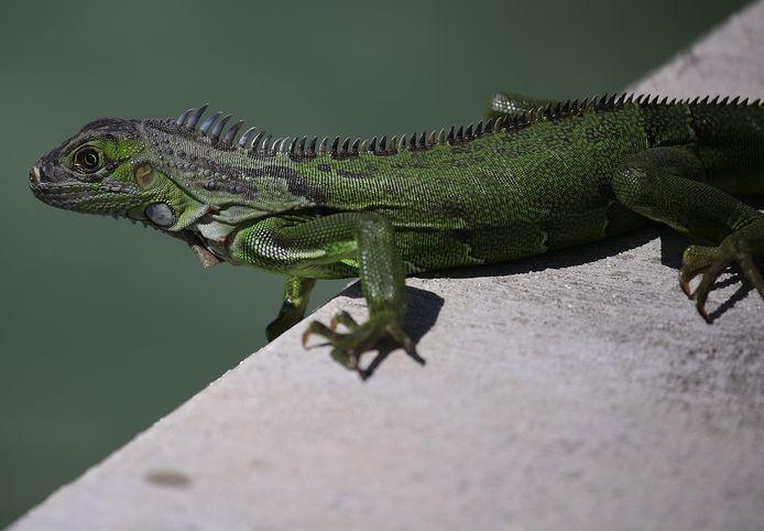 De reptielen duiken op in zwembaden en toiletten en richten, door hun gegraaf, schade aan wegen aan.