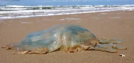 Grote hoeveelheid kwallen aangespoeld op strand Zandvoort