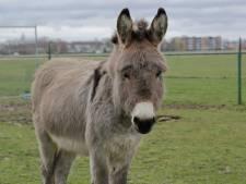 Nieuw huis gevonden voor mishandelde ezel Piet (8)