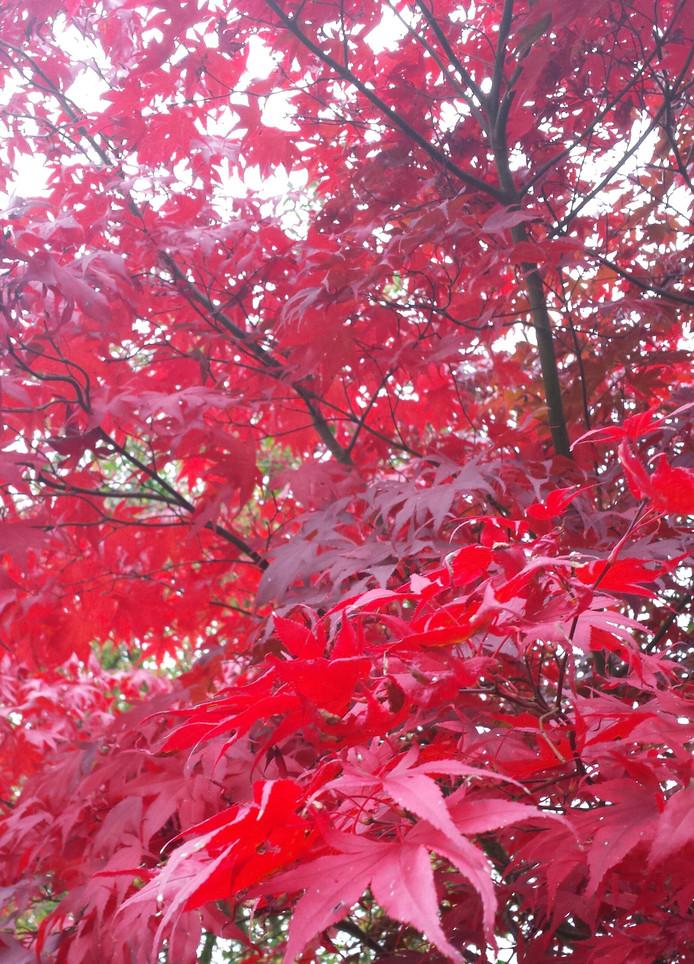 explosie van rode herfstkleuren